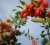 Un brașovean care a început să cultive goji în 2013 își extinde plantația la 7 hectare