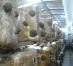 Tehnologia de cultura a ciupercilor Pleurotus ostreatus - buretele de fag sau bureţi
